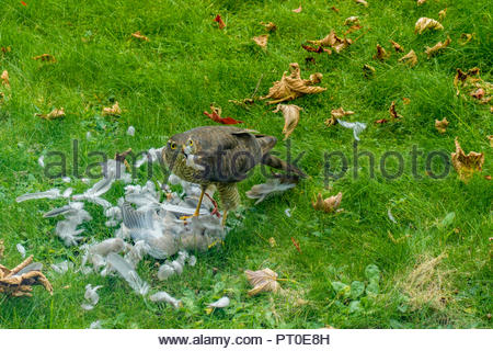 A Sparrowhawk, plucks feathers from a dead pigeon on a lawn in a garden in Sussex, England. - Stock Image