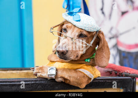 Cuba, Havana, Old Havana. Dog in costume. Credit as: Wendy Kaveney / Jaynes Gallery / DanitaDelimont.com - Stock Image