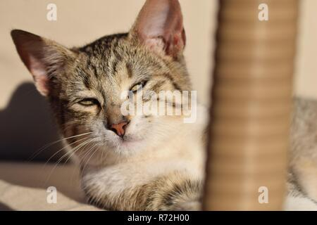 Sleepy tabby cat kitten relaxing in the sun - Stock Image