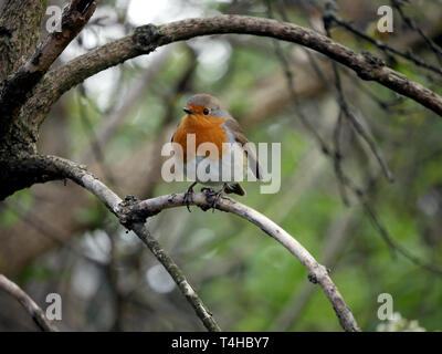 Robin redbreast - Erithacus Rubecula perched on a branch - Stock Image