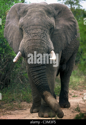 Bull elephant Loxodonta africana Mala Mala Kruger South Africa - Stock Image