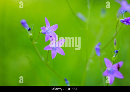 Flower Bell Field of violet color on a green background - Stock Image