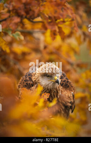 Red kite, Milvus milvus, perched in autumnal oak tree, amongst orange and yellow coloured leaves. - Stock Image