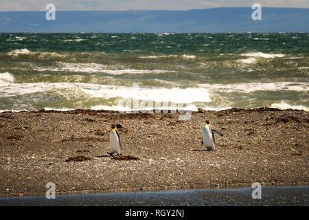 King penguins of Penguino Rey colony at Strait of Magellan near Porvenir, Chile - Stock Image