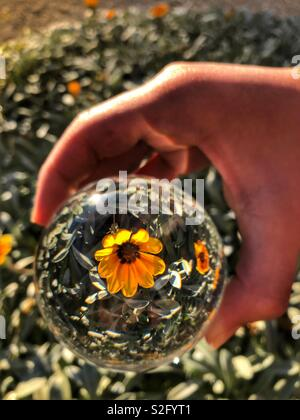 Crystal ball in hand, over a patch of gazania flowers. Creative photography, crystal ball refraction. - Stock Image