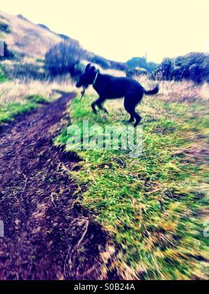 Black dog jumping - Stock Image