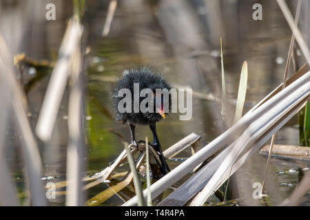 Young moorhen (Gallinula chloropus) duckling  amongst reeds standing on a floating wooden log - Stock Image