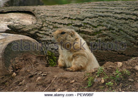 Prairie Dog at the entrance of its burrow with a fallen tree in the background and looking to its right. - Stock Image