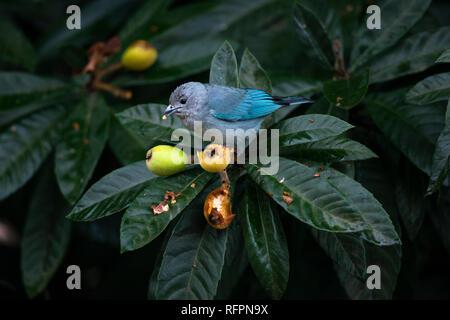 Sayaca Tanager (Thraupis sayaca) from Brazil - Stock Image