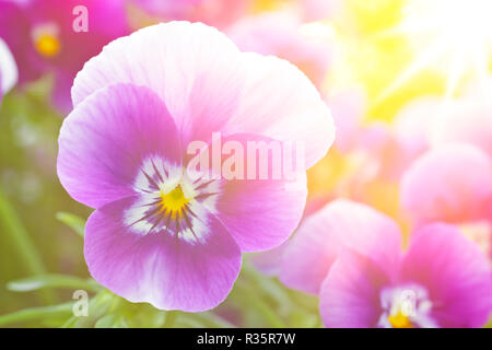 Close up of purple violet pansy flowers in beautiful spring morning sunlight, copy space, background template - Stock Image
