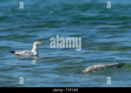 Herring gull (Larus argentatus) keeps an eye on the sky while floating near a dead fish (believed to be a common carp (Cyprinus carpio)) in Lake Michi - Stock Image