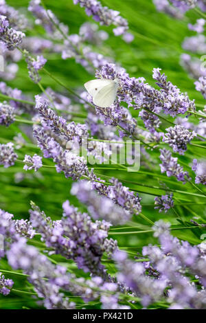 a Cabbage White butterfly settling on a Lavender bloom - Stock Image