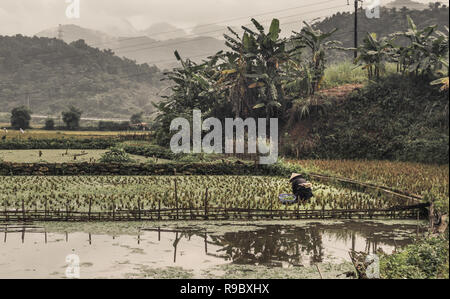 one female in hat working in rice paddy in dull, cloudy weather in Asia - Stock Image
