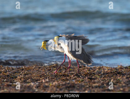 A pair of Masked Lapwings (Vanellus miles) calling on the beach, Cape York Peninsula, Far North Queensland, FNQ, QLD, Australia - Stock Image
