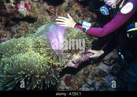 Diver and sea anemone Marshall Islands - Stock Image