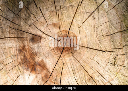 Detail of brown wood texture showing center of cut trunk. - Stock Image