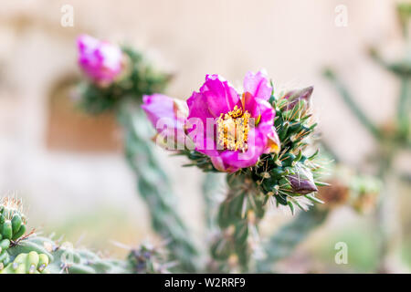 Cane Cholla cactus with vivid pink flower closeup in Main Loop trail in Bandelier National Monument in New Mexico in Los Alamos - Stock Image