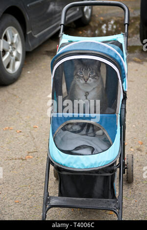 A domestic cat being transported in a pet carrier stroller on wheels. - Stock Image