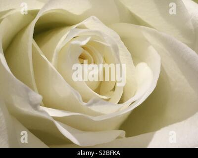 The flower of a white rose. - Stock Image