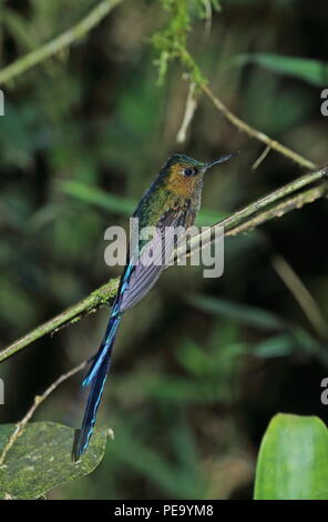 Violet-tailed Sylph (Aglaiocercus kingii) adult male perched on twig  Vinicio Birdwatchers House, Nono-Mindo Road, Ecuador        February - Stock Image