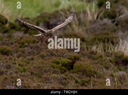 Female Hen Harrier (Circus cyaneus) returning to nest with nesting material, North Uist, Outer Hebrides, Scotland - Stock Image