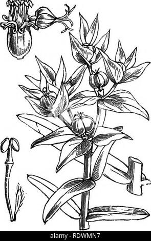 . Illustrations of the British flora: a series of wood engravings, with dissections, of British plants. Botany; Botany. 890. Euphorbia Pepliis, L. Petty Sfiurge; G. 91, Euphorbia exiguaj L. Diuarf spurge ; G.. 892. Euphorbia Lathyris, L. Caper SpvrgrV, G,. Please note that these images are extracted from scanned page images that may have been digitally enhanced for readability - coloration and appearance of these illustrations may not perfectly resemble the original work.. Fitch, W. H. (Walter Hood), 1817-1892; Smith, George Worthington, 1835-1917; Bentham, George, 1800-1884. Handbook of the B - Stock Image