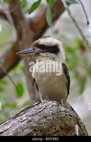 An Australian, Queensland Laughing Kookaburra ( Dacelo novaeguineae ) in profile, perched on a tree branch resting - Stock Image