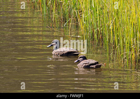 Pair of ducks on the edge of reed fringed lake. - Stock Image