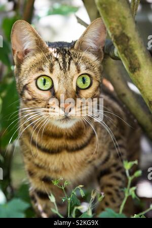 A striped Bengal cat with big green eyes hunting its prey in garden undergrowth - Stock Image