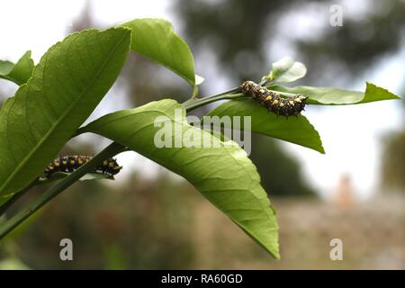 Two Caterpillars of Dainty Swallowtail Butterfly on citrus tree. - Stock Image