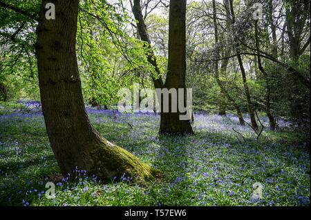 Haywards Heath Sussex, UK. 22nd Apr, 2019. A carpet of Spring bluebells in full bloom in woods near Haywards Heath Sussex on another beautiful hot sunny day Credit: Simon Dack/Alamy Live News - Stock Image
