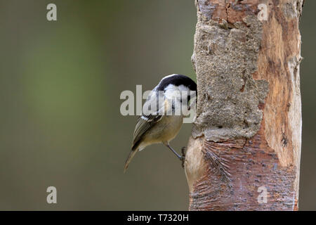 Coal Tit, Periparus ater on a log bird feeder, YWT Adel Dam, Leeds, West Yorkshire, England, UK. - Stock Image