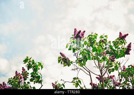 Low angle view of flowering branches against sky - Stock Image