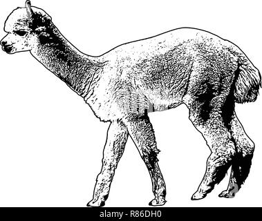 alpaca sketch illustration - vector - Stock Image
