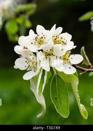 White spring flowers and silvery foliage of the hardy deciduous snow pear, Pyrus nivalis, - Stock Image