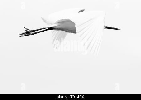Great egret white bird in flight - Stock Image