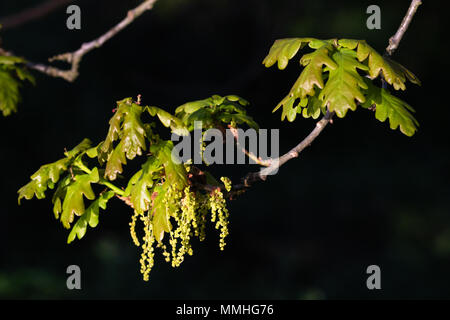 Pedunculate Oak (Quercus rober).  Fresh leaves and flowers - Stock Image
