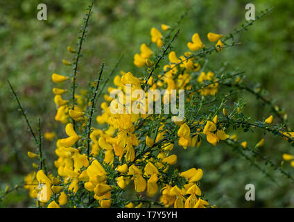 Yellow flowers on gorse or furze bush Ulex europaeus - Stock Image