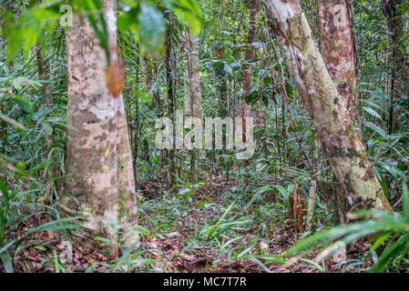 Rainforest around Wagu lake, Upper Sepik, Papua New Guinea - Stock Image