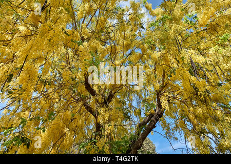 Cassia fistula, golden shower tree. It is both the national tree and national flower of Thailand. - Stock Image