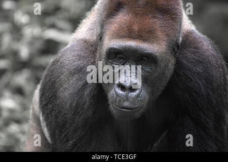 Portrait of a silverback gorilla, Indonesia - Stock Image