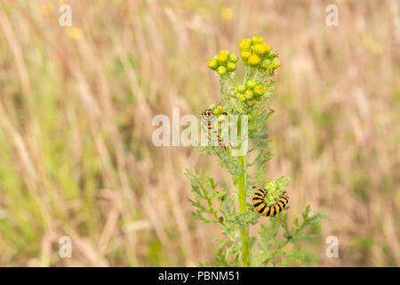 Cinnabar Moth [Tyria jacobaeae] caterpillars on youngsih Ragwort [Senecio jacobaea]. - Stock Image