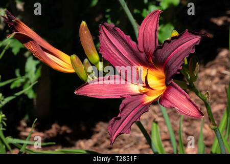 Day lily (Hemerocallis), close up of the flower head - Stock Image