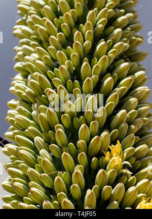 Agave Plant Flowers Closeup - Stock Image