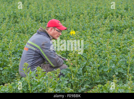 A farmer in his field of oilseed rape (canola) checking it, shortly before flowering begins. - Stock Image
