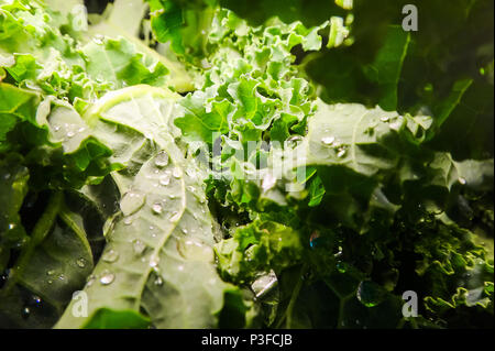 Horizontal shot of kale leaves at the supermarket stacked unevenly with a strong artificial light source - Stock Image