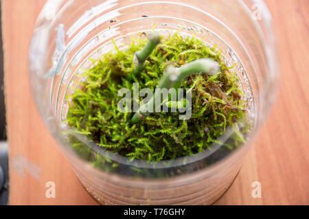 Baby Phalaenopsis Orchids grow in a transparent bowl with moss. Keiki orchid reproduction at home. Botanical and house flowers concept. Close up - Stock Image