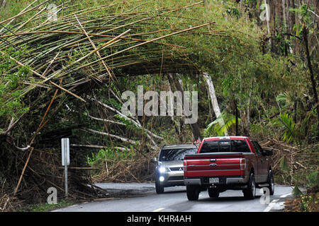 An archway of bamboo uprooted by Hurricane Maria hangs over the PR184 road in the Carite State Forest near Montana - Stock Image