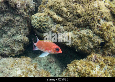 A Red Squirrelfish from SE Brazil - Stock Image