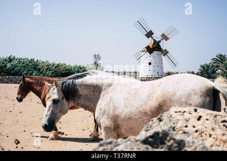 Couple of free horses in the rural country yard with old wind mill in backgorund - clear blue sky in background - Stock Image